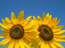 """Double Yellow Sunflowers"" courtesy of nuttakit/ FreeDigitalPhotos.net"