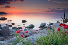 """Poppies By The Sea"" courtesy of Evgeni Dinev/ FreeDigitalPhotos.net"