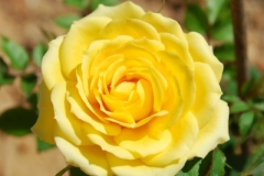 """Yellow Rose"" courtesy of artur84 / FreeDigitalPhotos.net"