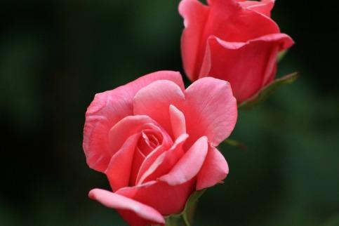 rose-140853_1920