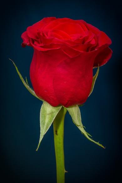 rose-266785_1280.jpg