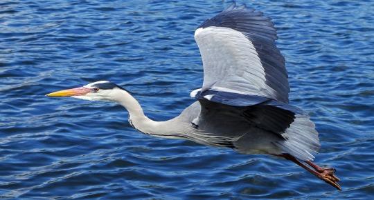 grey-heron-139979_1920.jpg