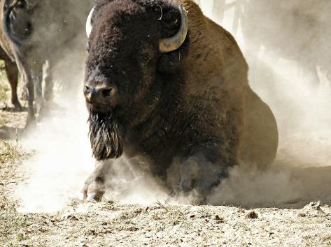 bison-58162_1920